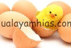 menetas 2 Telur Ayam Kapas Jual Ayam Hias HP : 08564 77 23 888 | BERKUALITAS DAN TERPERCAYA Telur Ayam Kapas Telur Ayam Kapas Sukses di Tetaskan Pak Priana di Mapanget Manado