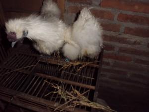 Ayam-Kapas-Indukan-8.JPG
