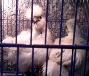 Ayam-Kapas-Umur-2-Bulanan-a.jpg