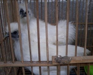 Ayam-Kapas-Umur-6-Bulanan-a.jpg