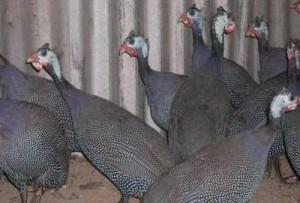Ayam Mutiara Indukan b