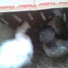 111111111 Ayam Kapas dan Ayam Mahkota Pesanan Bu Yessi di Jati Asih Bekasi Jual Ayam Hias HP : 08564 77 23 888 | BERKUALITAS DAN TERPERCAYA Ayam Kapas dan Ayam Mahkota Pesanan Bu Yessi di Jati Asih Bekasi Ayam Kapas dan Ayam Mahkota Pesanan Bu Yessi di Jati Asih Bekasi