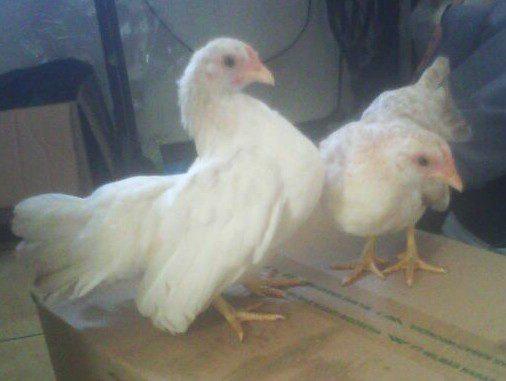 Ayam Serama Betina Ayam Serama dari Negeri Jiran Jual Ayam Hias HP : 08564 77 23 888 | BERKUALITAS DAN TERPERCAYA Ayam Serama dari Negeri Jiran Ayam Serama dari Negeri Jiran