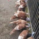 wpid bourbon red 2.jpg Ayam Kalkun Cilacap Jual Ayam Hias HP : 08564 77 23 888 | BERKUALITAS DAN TERPERCAYA Ayam Kalkun Cilacap Ayam Kalkun Jenis Bourbon Red Pesanan Mas Rio di Cilacap