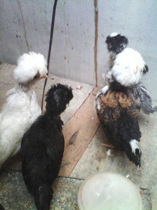Ayam Polan 1,5 Bulan