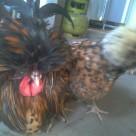 wpid img 20140528 wa00041 Indukan Ayam Polan Hari ini Nelor 3 Jual Ayam Hias HP : 08564 77 23 888 | BERKUALITAS DAN TERPERCAYA Indukan Ayam Polan Hari ini Nelor 3 Indukan Ayam Polan Hari ini Nelor 3