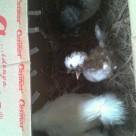 wpid img 20140531 wa0013 Ayam Kapas dan Ayam Polan atau Ayam Mahkota Pesanan Ibu Yessy di Jati Asih Bekasi Jual Ayam Hias HP : 08564 77 23 888 | BERKUALITAS DAN TERPERCAYA Ayam Kapas dan Ayam Polan atau Ayam Mahkota Pesanan Ibu Yessy di Jati Asih Bekasi Ayam Kapas dan Ayam Polan atau Ayam Mahkota Pesanan Ibu Yessy di Jati Asih Bekasi