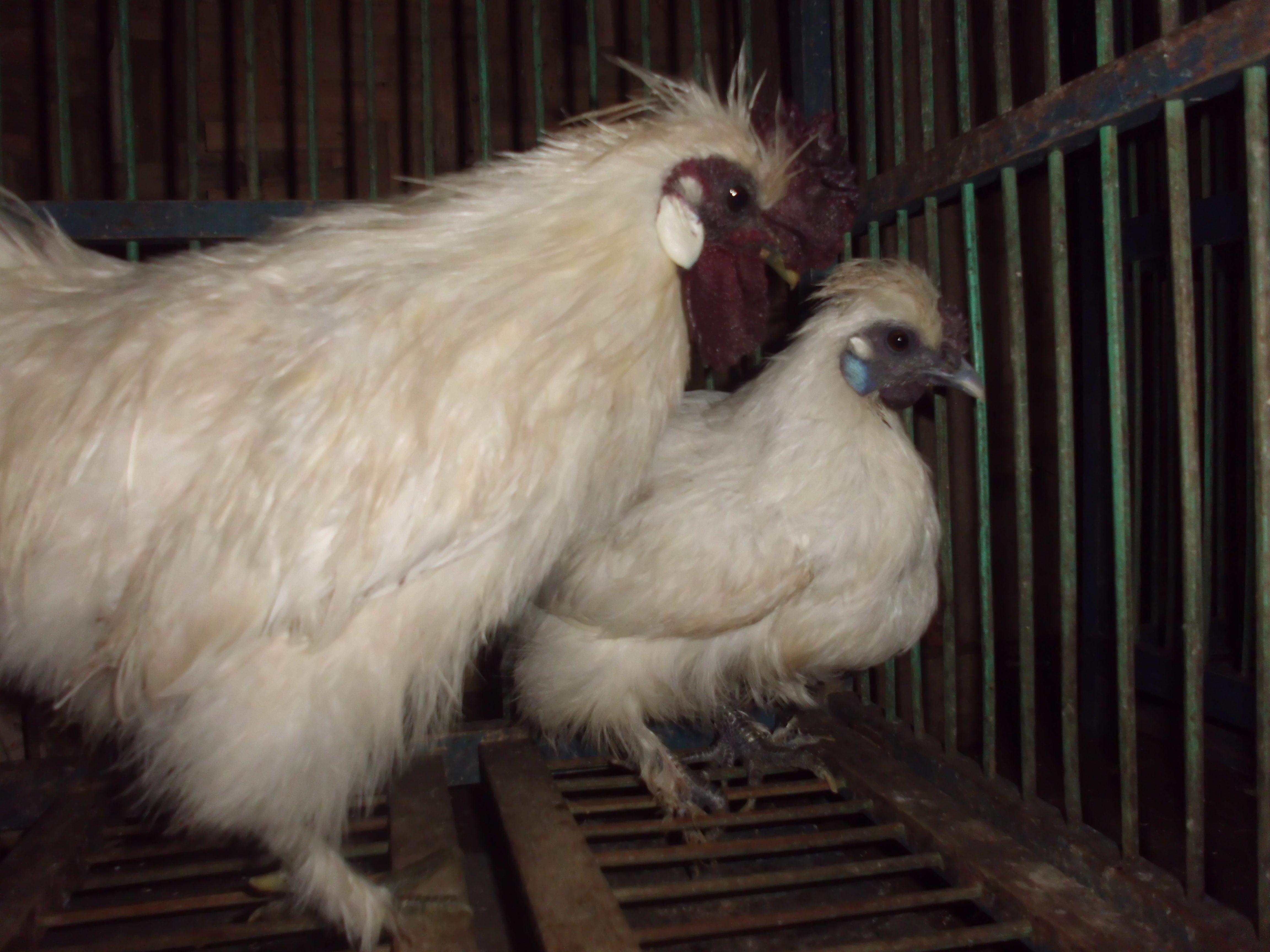 Ayam Kapas Indukan (3)