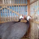 Kalkun Bronze dan Mutiara Indukan Pesanan Bapak Nurhidayat di Jakarta Timur