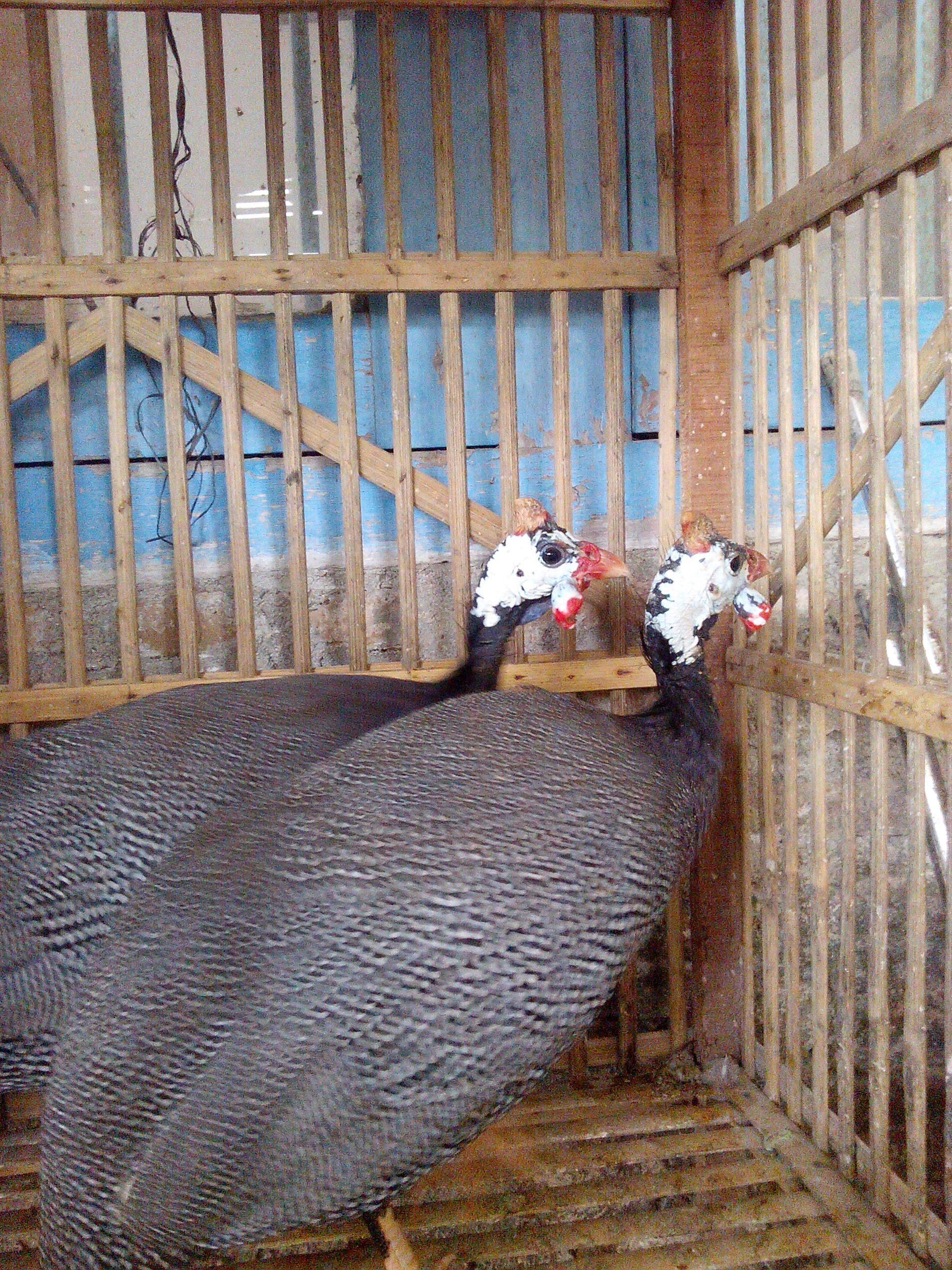 Cara Menangkap Ayam Mutiara yang Lepas dari Kandang - Jual ...