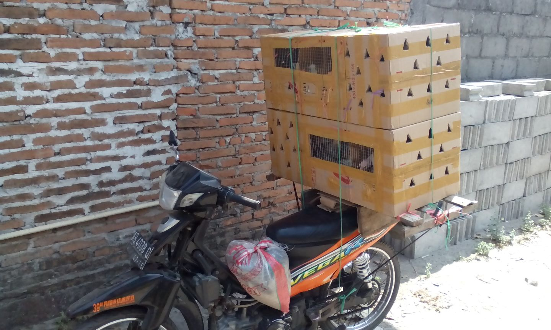 wpid img 20140924 wa00081 Ayam Hias Jual Ayam Hias HP : 08564 77 23 888 | BERKUALITAS DAN TERPERCAYA Ayam Hias Ayam Hias Pesanan Bapak Wahyu di Pelalawan Riau