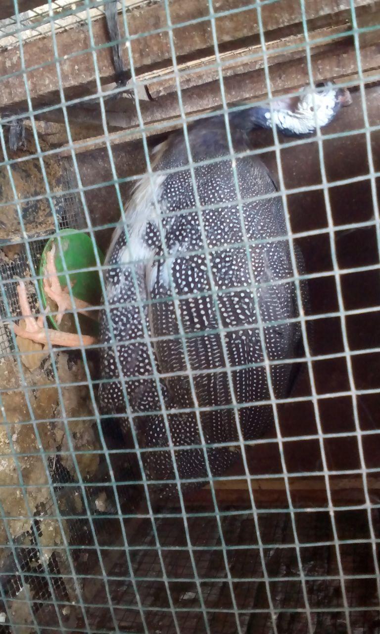 wpid img 20141018 wa0007 Ayam Mutiara Plangkok Jual Ayam Hias HP : 08564 77 23 888 | BERKUALITAS DAN TERPERCAYA Ayam Mutiara Plangkok Ayam Mutiara Plangkok, Ayam Cemani, Golden Palm Turkey dan Kalkun Bronze Pesanan Bapak Budi di Ciawi Bogor