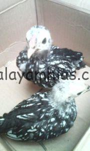 Ayam Batik Itali Umur Dua Bulan