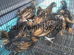 Ayam Batik Kanada 2,5 Bulan