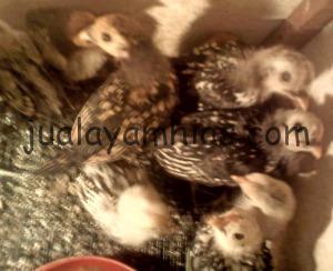 Ayam Batik Kanada Anakan