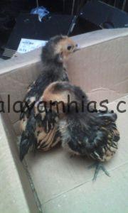 Ayam Batik Kanada Umur Satu Bulan