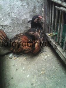 Ayam Batik Kanada umur 2 Bulan 2