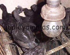 Foto Ayam Cemani Umur 2 bulan