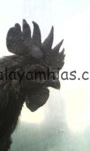 Ayam Cemani Jantan