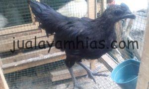 Foto Ayam Cemani