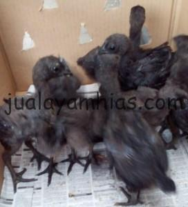 Foto Ayam Cemani Umur 1 Bulan