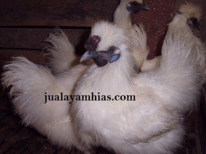 Ayam Kapas Indukan 7 bulan