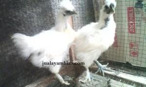 Ayam Kapas Usia Empat Bulan