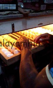 Proses Penetasan Telur Ayam Hias