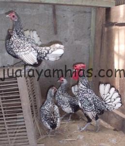 Ayam Batik Itali Dewasa Indukan