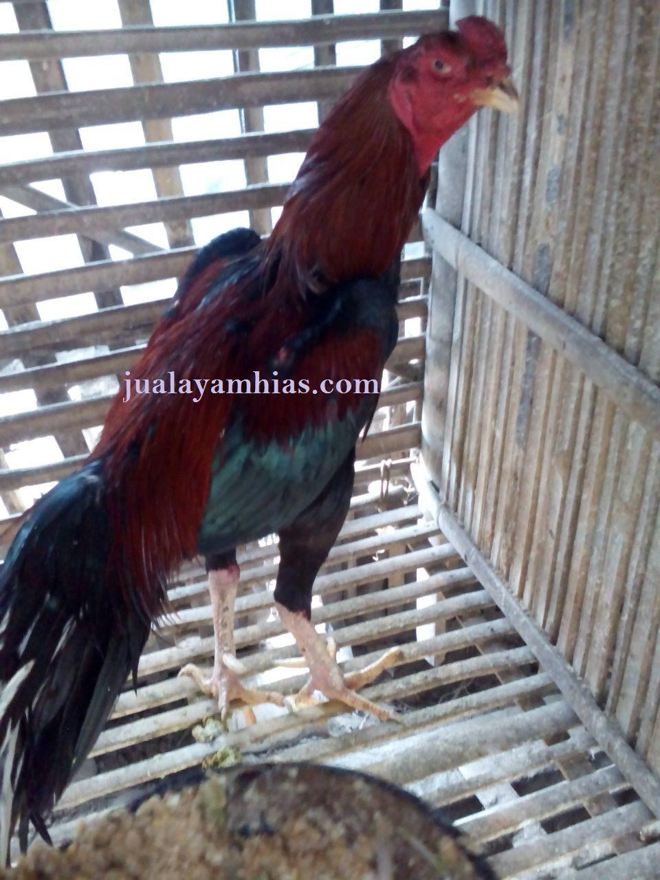 Indukan Ayam Bangkok