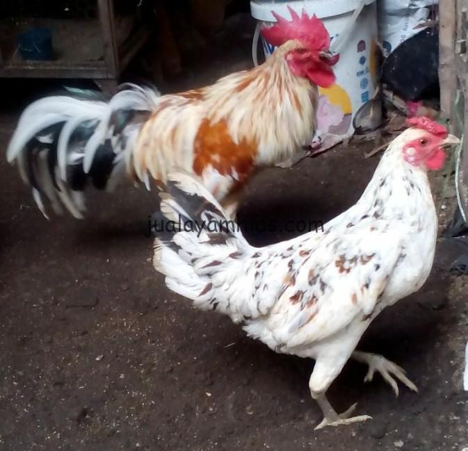 Sepasang Ayam Ketawa