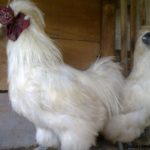 2. Ayam Kapas Dewasa 3 Jual Ayam Hias HP : 08564 77 23 888 | BERKUALITAS DAN TERPERCAYA Galeri Foto