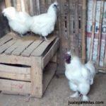 Ayam Kapas Dewasa