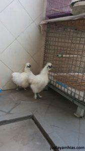2. Ayam Kapas Dewasa 8 Pengiriman Ayam Pesanan Pak Andy di Banda Aceh Jual Ayam Hias HP : 08564 77 23 888 | BERKUALITAS DAN TERPERCAYA Pengiriman Ayam Pesanan Pak Andy di Banda Aceh Pengiriman Ayam Pesanan Pak Andy di Banda Aceh