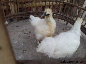 Cara Mudah Memelihara Ayam Kapas