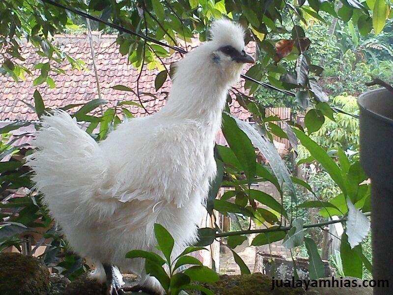 2. Ayam Kapas Umur 5 Bulan 2 Tips Mudah Memelihara Ayam Kapas Jual Ayam Hias HP : 08564 77 23 888 | BERKUALITAS DAN TERPERCAYA Tips Mudah Memelihara Ayam Kapas Tips Mudah Memelihara Ayam Kapas
