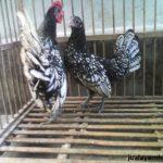 Ayam Batik Itali Dewasa 23 Jual Ayam Hias HP : 08564 77 23 888 | BERKUALITAS DAN TERPERCAYA Galeri Foto