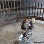 Ayam Batik Itali Umur 2 Bulan Jual Ayam Hias HP : 08564 77 23 888 | BERKUALITAS DAN TERPERCAYA Galeri Foto