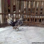Ayam Batik Itali Umur 3 Bulan 3 Jual Ayam Hias HP : 08564 77 23 888 | BERKUALITAS DAN TERPERCAYA Galeri Foto
