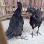 Ayam Cemani Umur 25 Bulan 2 Jual Ayam Hias HP : 08564 77 23 888 | BERKUALITAS DAN TERPERCAYA Galeri Foto