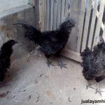 Ayam Cemani Walik Dewasa 1 Jual Ayam Hias HP : 08564 77 23 888 | BERKUALITAS DAN TERPERCAYA Galeri Foto