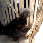 Ayam Cemani Walik Dewasa 3 1 Jual Ayam Hias HP : 08564 77 23 888 | BERKUALITAS DAN TERPERCAYA Galeri Foto