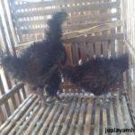 Ayam Cemani Walik Dewasa 4 1 Jual Ayam Hias HP : 08564 77 23 888 | BERKUALITAS DAN TERPERCAYA Galeri Foto