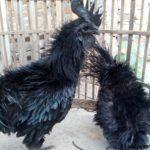 Ayam Cemani Walik Dewasa 5 1 Jual Ayam Hias HP : 08564 77 23 888 | BERKUALITAS DAN TERPERCAYA Galeri Foto