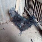 Ayam Cemani Walik Dewasa 6 1 Jual Ayam Hias HP : 08564 77 23 888 | BERKUALITAS DAN TERPERCAYA Galeri Foto