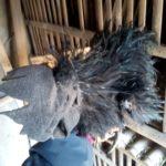 Ayam Cemani Walik Dewasa 7 1 Jual Ayam Hias HP : 08564 77 23 888 | BERKUALITAS DAN TERPERCAYA Galeri Foto