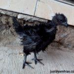 Ayam Cemani Walik Umur 2 Bulan 1 Jual Ayam Hias HP : 08564 77 23 888 | BERKUALITAS DAN TERPERCAYA Galeri Foto