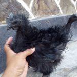 Ayam Cemani Walik Umur 4 bulanan 1 1 Jual Ayam Hias HP : 08564 77 23 888 | BERKUALITAS DAN TERPERCAYA Galeri Foto