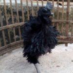 Ayam Cemani Walik Umur 5 Bulan 3 1 Jual Ayam Hias HP : 08564 77 23 888 | BERKUALITAS DAN TERPERCAYA Galeri Foto