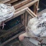 Ayam Golden Palm Umur 3 Bulan Jantan Jual Ayam Hias HP : 08564 77 23 888 | BERKUALITAS DAN TERPERCAYA Galeri Foto